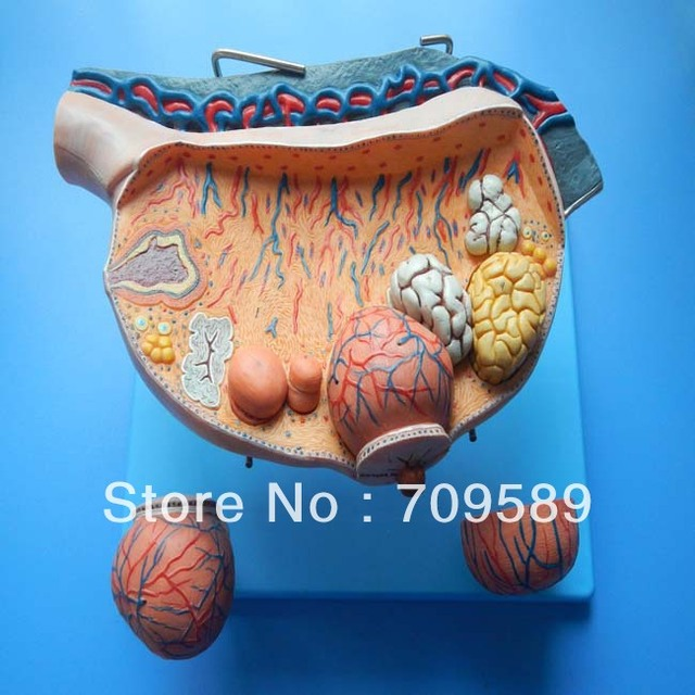 Imported Pvc Human Anatomy Enlarged Ovary Model In Medical Science