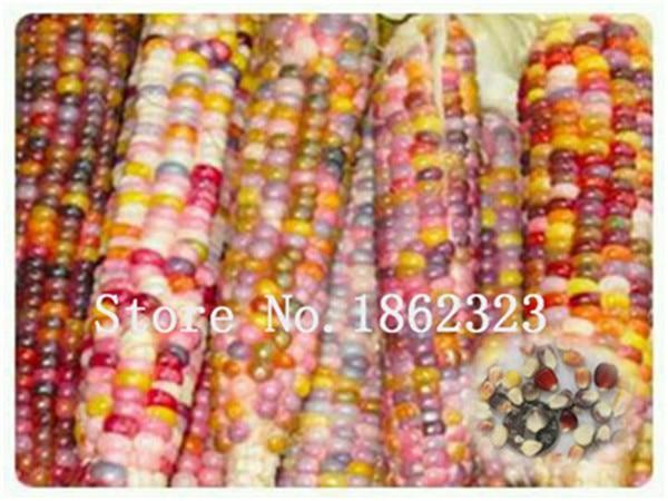 Dolce glutinoso mais Bonsai, di mais colorato pianta di grano cereali, mais, di Verdure per la casa giardino 20 pz Trasporto Libero