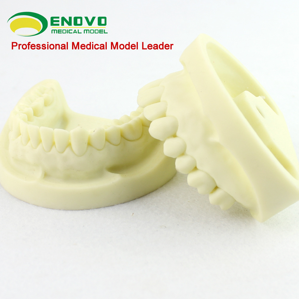 ENOVO standard white fused alumina dental model cavity preparation practice standard tooth model tooth preparation new comprehensive restoration model dental pulp practice model with dental nerve incisor tooth molar tooth with root canal
