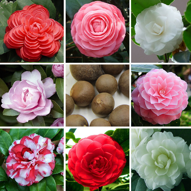 Online get cheap camellia plant alibaba - Camelia planta ...