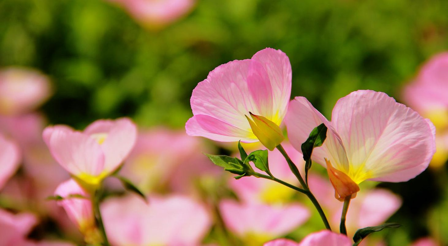 100pcsbag Pink Fairy Primrose Seeds Chinese Flower Seeds By Marseed