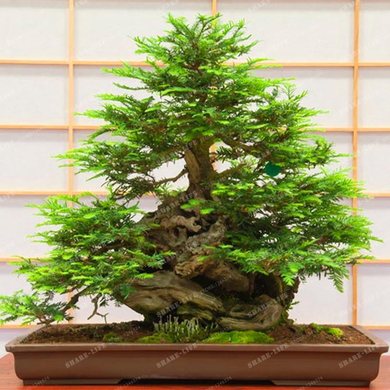 unidsbolsa redwood coast semillas sequoia rbol bonsai semillas de rboles bonsai semillas