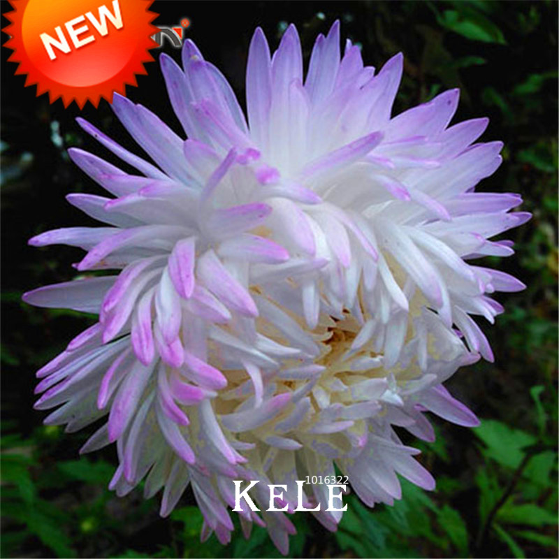 Buy purple aster flower and get free shipping on aliexpress mightylinksfo