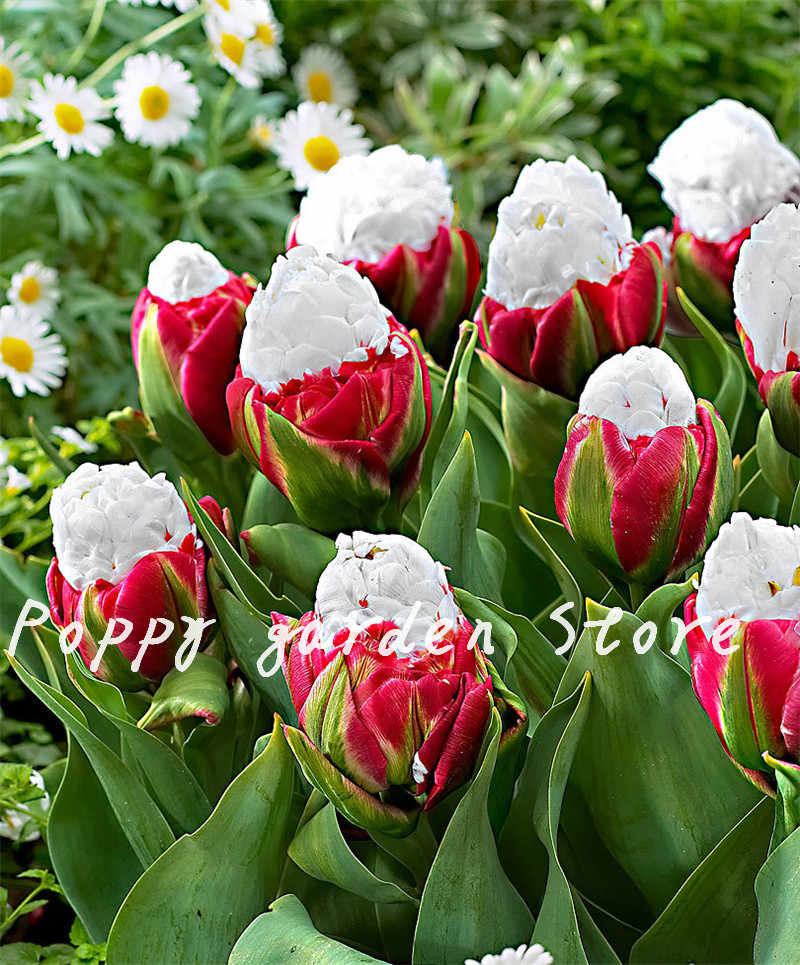 500 Pcs High Quatity Flower Plants Rare White Ice Cream Tulip Bonsai Plant Not Flower Bulbs,Bonsai Balcony Flower For Home Plant