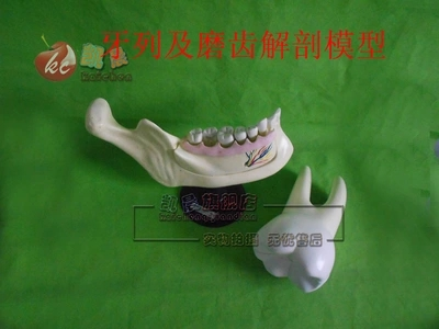 tooth arrangement anatomical model incisor  canine teeth teaching apparatus free shipping