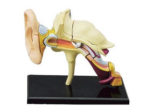 Kinder DIY Puzzle Menschliche organ Anatomie ohr l Modell 3D CutAway ...