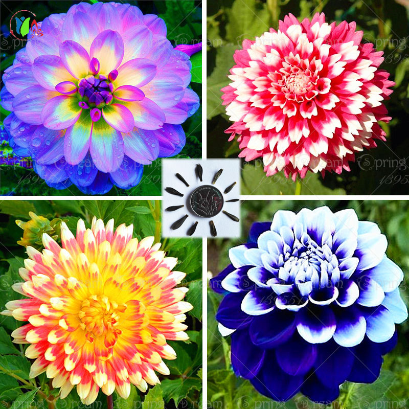 25/bag dahlia, dahlia flower Mixed Colors Dahlias Seeds For DIY Home Garden free shipping