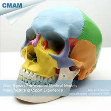 CMAM-SKULL07 3 Part Coloured Skull Model with Removable Jaw