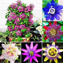 20pcs Passion flower bonsai Perennial evergreen climbing woody vine potted plants for home garden