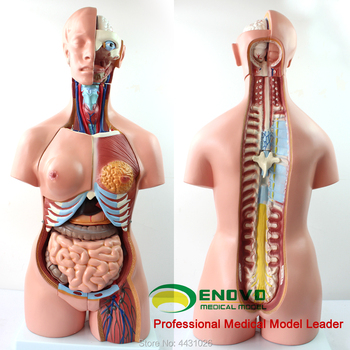 ENOVO The anatomical model of human anatomy in human anatomy of 85CM trunk system the lymphatic system model senior lymphatic system anatomical model