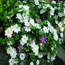 Free shipping Clematis / small green creeper climbing plant clematis seeds, 100pcs