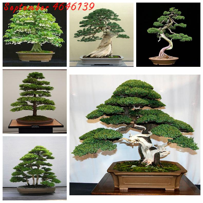 Genuine Juniper Bonsai Seeds Plants Tree Potted Flowers Office Purify The 50pcs