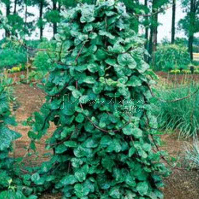 Online Buy Wholesale Malabar Spinach Plant From China Malabar