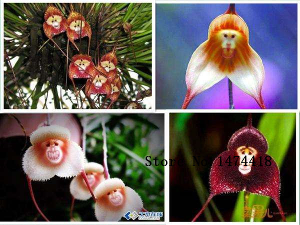 Monkey Looking Orchids