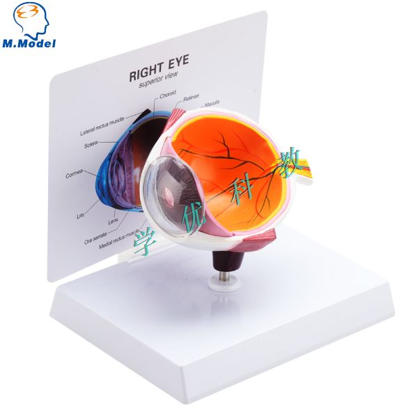 modelo anatomico da anatomia do meio olho humano withiut o cartao