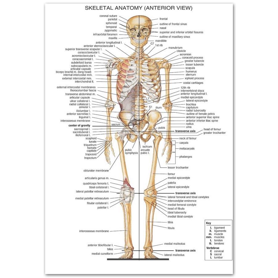 B477 Menschlichen Körper Struktur Anatomie Informationen Top A4 Art ...