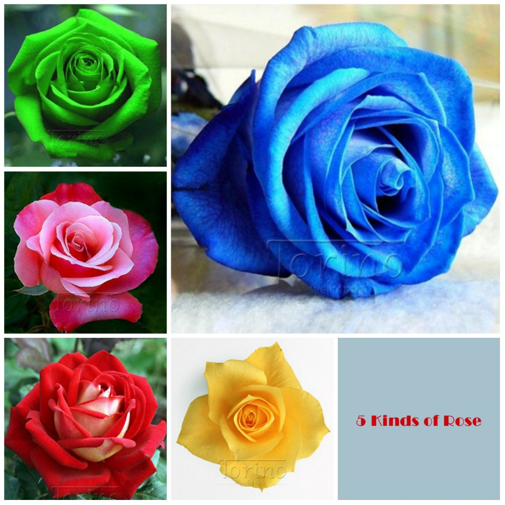 5 Kinds Of Combinations Of Pink Roses Green Blue Red Yellow Roses