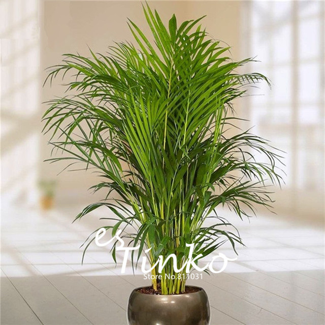 Online Shop 30pcs Bamboo Palm Seeds Lady Palm Indoor Plants Rhapis ...