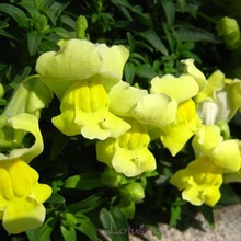 1 Lot 60 Common Snapdragon Antirrhinum Majus Flower Seeds A182