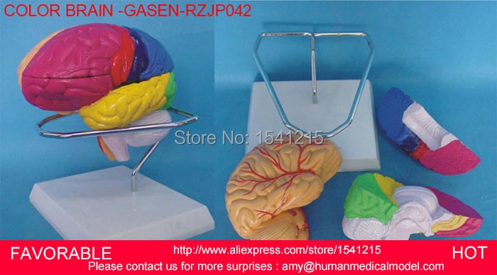 HUMAN BRAIN MODEL ,BRAIN MODELS,HUMAN HEAD ANATOMICAL MODEL BRAIN MODEL MEDICAL SCIENCE TEACHING SUPPLIES-GASEN-RZJP042 цена