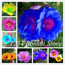 100 Pcs Portulaca Grandiflora bonsai Mixed Color Moss-Rose Purslane Double Flower plant For Planting Heat Tolerant Easy Growing(China)