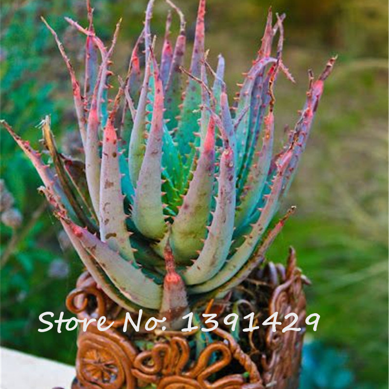 100 pcs rare snake aloe vera seeds rainbow aloe strong herbal succulent plant ebay. Black Bedroom Furniture Sets. Home Design Ideas