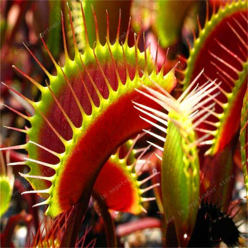 500 PCS  hot-selling Potted Insectivorous Dionaea Muscipula Giant Clip Flytrap bonsais Carnivorous Plant Diy Plant(China)