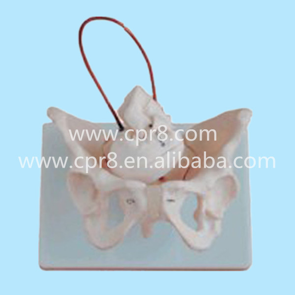 BIX-A1026 Female Pelvis Model With Fetal Skull Midwifery Bone Model MQ166 female pelvic fetal model nine months of pregnancy fetus uterine embryo development model fetal development model gasen sz017