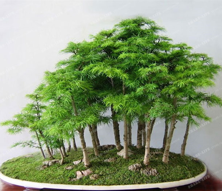 verdadero japons mini bonsai rbol de arce semillas baratas muy hermoso rbol bonsai de interior plan
