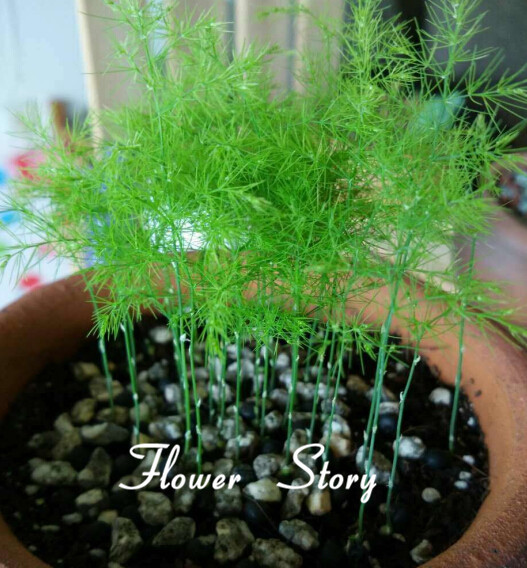 1 original package,6 Asparagus Fern Seeds (Asparagus Setaceus)--Small Bamboo Bonsai Setose Asparagus Plants , DIY mini pot plant