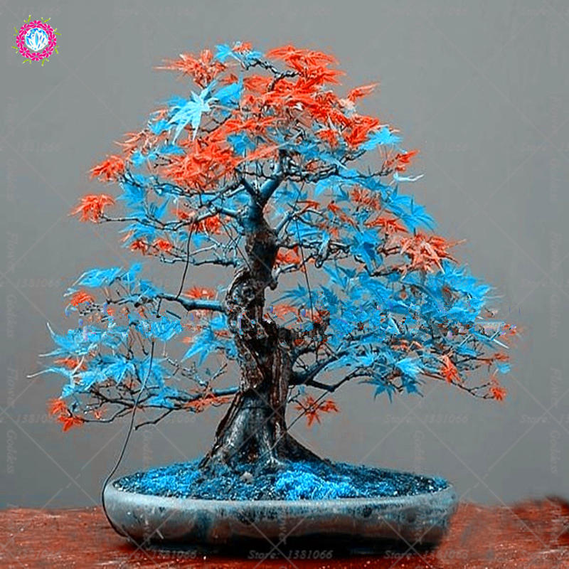 Classical-10-different-colors-Japanese-maple-seeds-mini-bonsai-seeds-bonsai-tree-seeds-Maple-Seeds-Home (1)