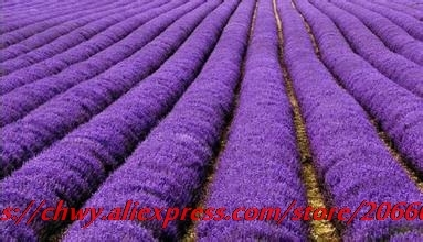 Provence lavender seeds very fragrant organic plant flower ForHome Garden