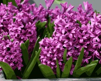MaHuaf I909 Pink Hyacinth DIY Painting By Numbers Flowers Acrylic Picture Wall Art Canvas Painting For
