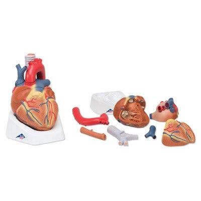Aliexpress.com: Comprar Modelo del corazón, 7 piezas adultos ...