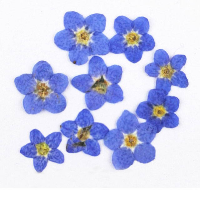 Best buy ) }}Dont Forget Me cheap wholesale flowers for DIY filler material press flower 1 lot