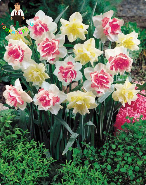 100pcs Bonsai of Aquatic Plants Double Petals Pink Daffodils planting for Home Garden