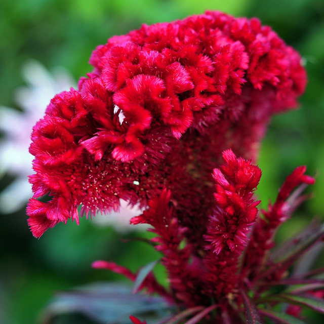 Free shipping flaming cockscomb seedscelosia argentea perennial free shipping flaming cockscomb seedscelosia argentea perennial home garden flower plant mightylinksfo