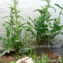 forage bonsai Rumex plant stalk leaf spinach especially foreign iron yielding high protein feed Section 200g / Pack