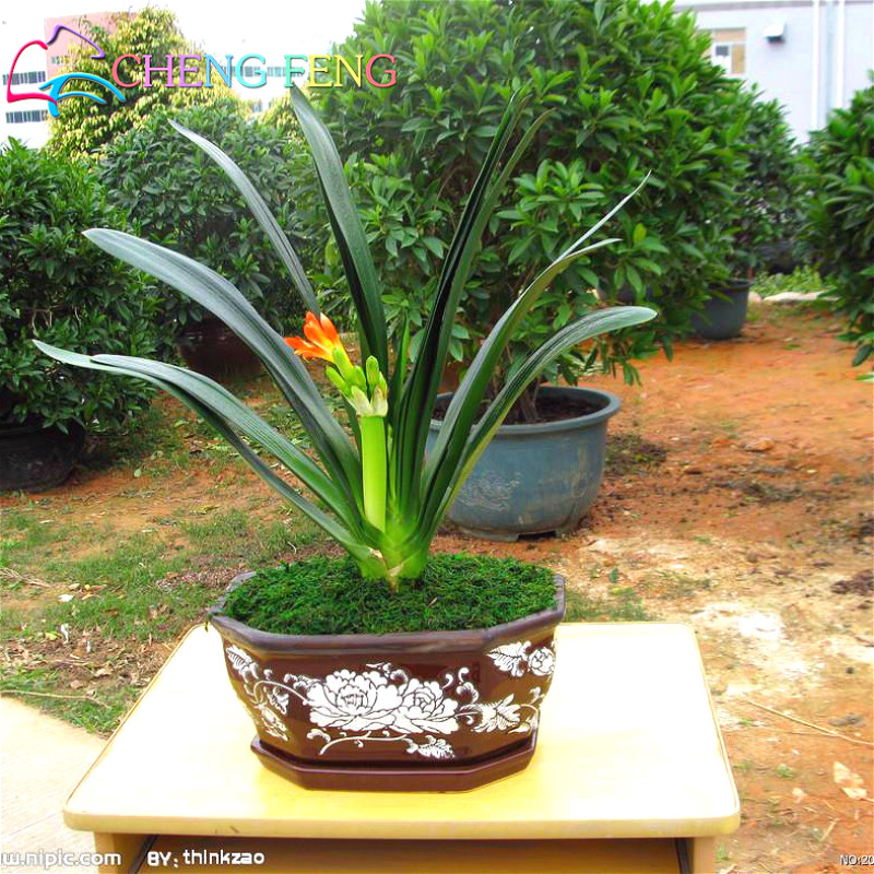 30 clivia seeds free shipping cheap flower potted seed rare bonsai balcony flowers for home garden - Flowers For Home Garden