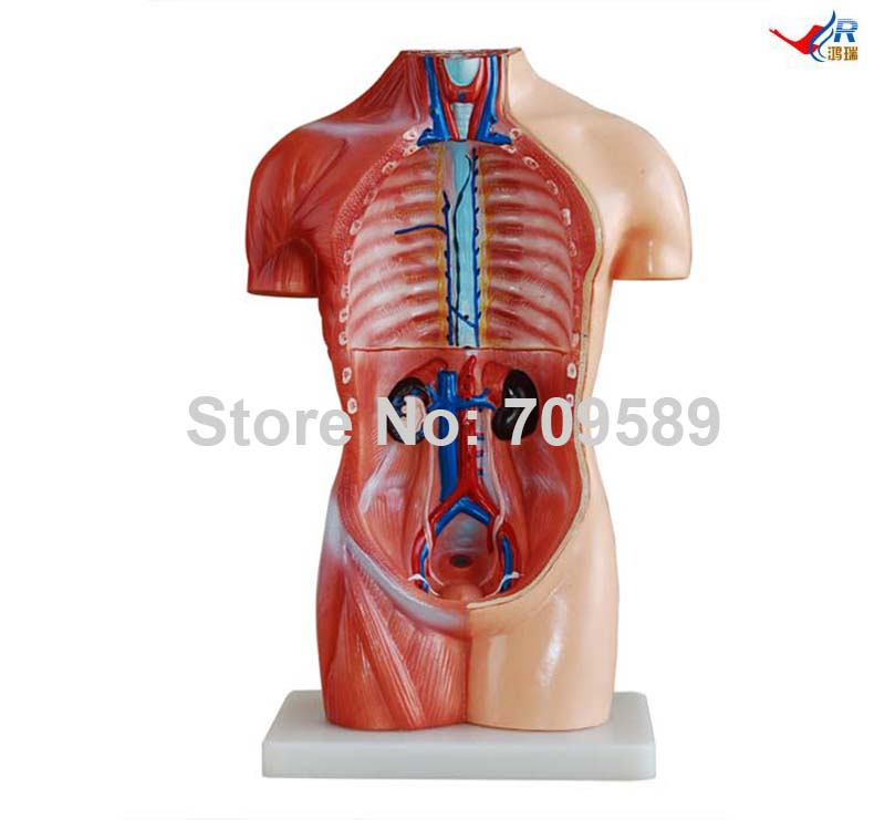 Iso 42cm Sexless Torso With Internal Organs 18 Parts Anatomy Torso