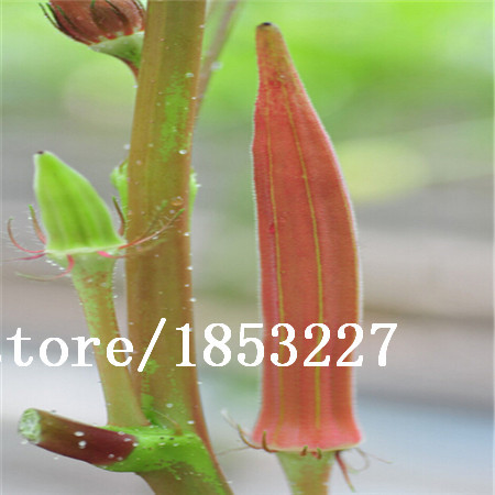 GGG 100seeds/bag red okra seeds kidney dish easy family balcony sowing seasons seed ...