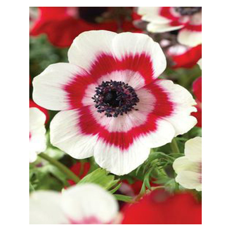 200pcs unique mix of red and white flower petals poppy seeds potted 200pcs unique mix of red and white flower petals poppy seeds potted bonsai diy home garden plants courtyard flower seeds in bonsai from home garden on mightylinksfo