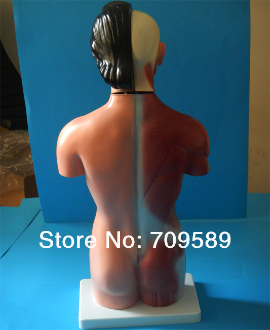 Medical Anatomical Human Torso 15 Parts, 42CM Female Torso Model 42cm male 13 torso model torso anatomical model of medical biological teaching aids equipment