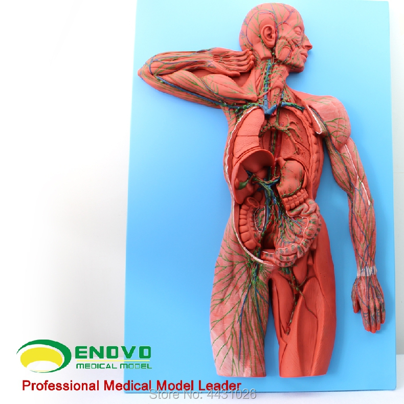 ENOVO Medical human lymphatic system anatomical model lymphoid organ model human immune system human larynx model advanced anatomical larynx model