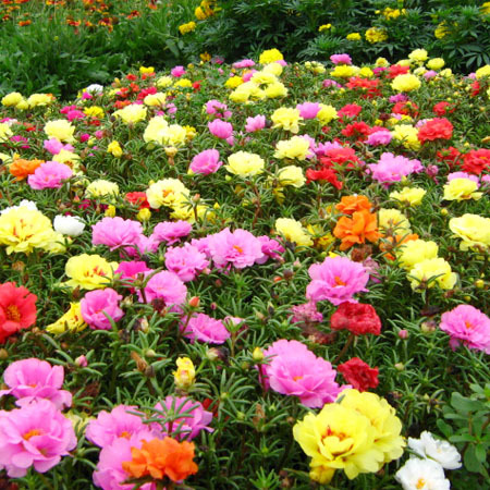 free shipping hot sale Flower seeds matsuba peones seeds flowers and seeds 1000