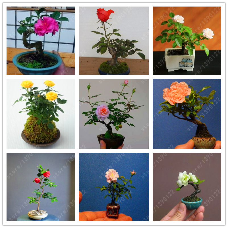 unidsbolsa mini rose bonsai miniatura semillas color de rosa un pequeo