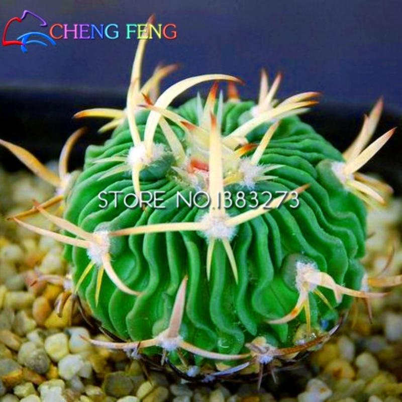 Online kaufen gro handel kaktus arten aus china kaktus - Cactus raros fotos ...
