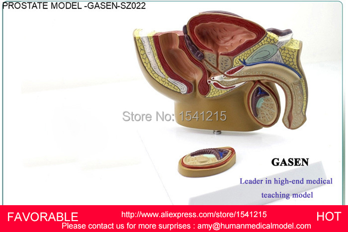MALE REPRODUCTIVE SYSTEM MODEL ANATOMY OF THE MALE REPRODUCTIVE SYSTEM,MALE REPRODUCTIVE OF PROSTATE ANATOMY MODEL-GASEN-SZ022 bix a1042 anatomy of the head cerebral artery model wbw299