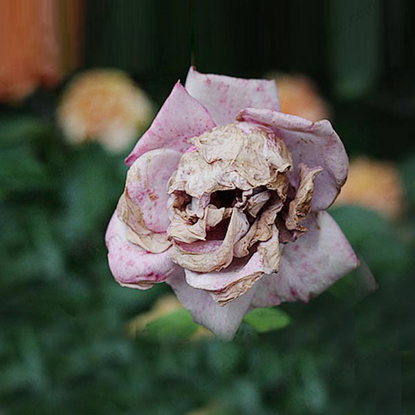 The Death Rose seeds rare and mysterious plant species of snapdragon     The Death Rose seeds rare and mysterious plant species of snapdragon flower  seed pods skull 100PCS in Bonsai from Home   Garden on Aliexpress com    Alibaba