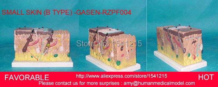 HUMAN SKIN BLOCK WITH HAIR ANATOMY MODELS,MAGNIFY ANATOMICAL SKIN ANATOMY ,HUMAN ANATOMY SMALL SKIN (B TYPE) -GASEN-RZPF004 human skin block with hair anatomy models magnify anatomical skin anatomy human skeleton for sale skin model gasen rzpf003
